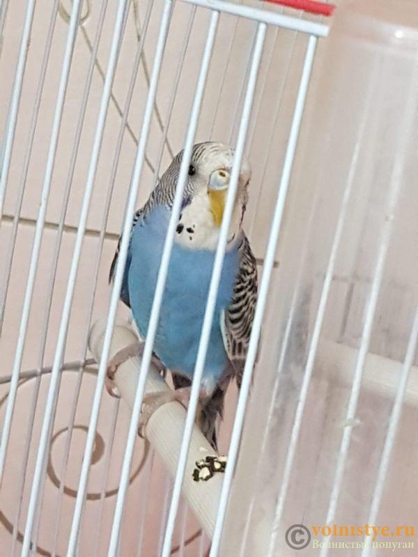 Определение пола и возраста попугаев № 12 - IMG-20190914-WA0006.jpg