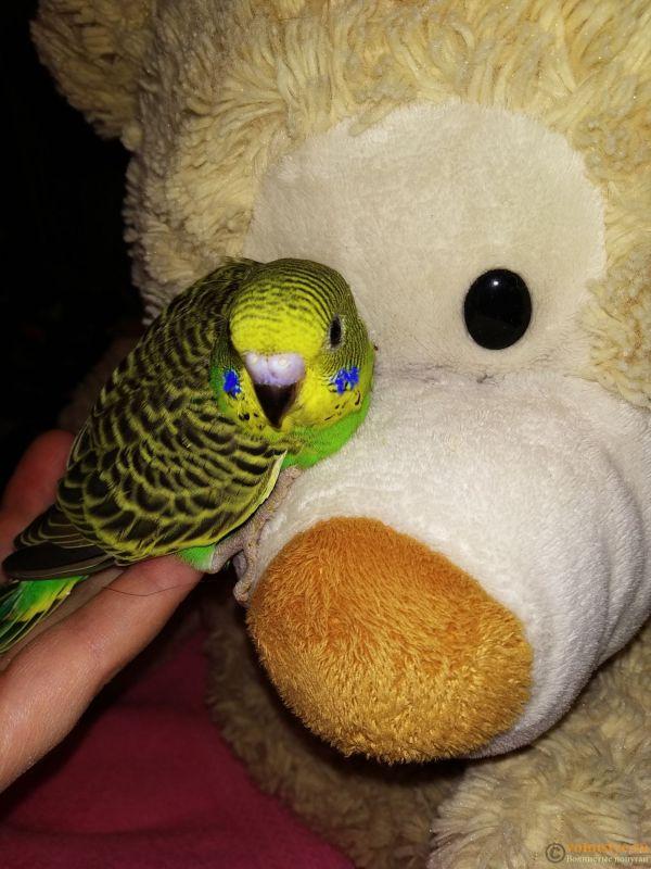 Волнистые попугаи Птенцы -Самки - IMG_20190927_165910.jpg