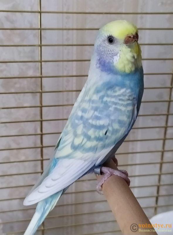 Фотографии  для статьи  окрасы волнистых попугаев - IMG-20190927-WA0000.jpg