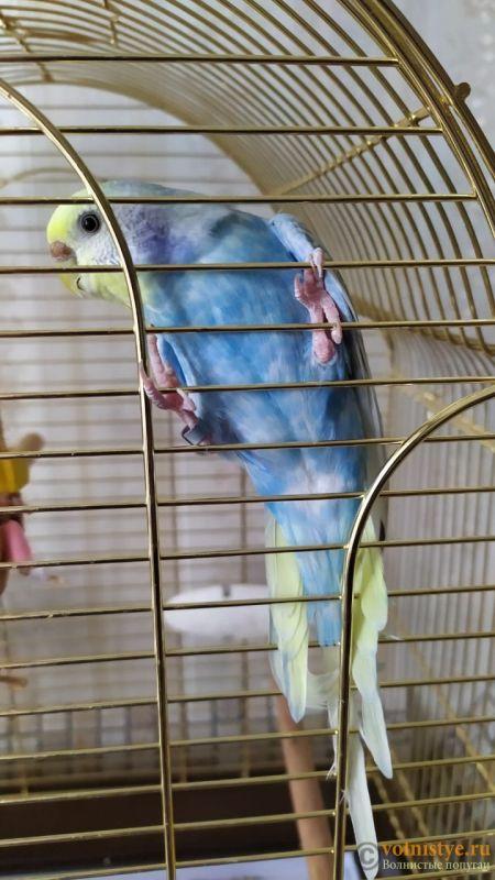 Фотографии  для статьи  окрасы волнистых попугаев - IMG-20190927-WA0002.jpg