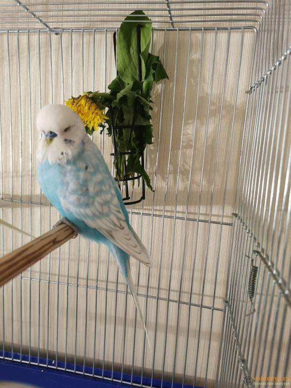 Какого окраса ваши попугаи и какого у них получились птенцы? - IMG_20190929_201110.jpg