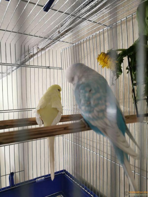 Какого окраса ваши попугаи и какого у них получились птенцы? - IMG_20190929_201237.jpg