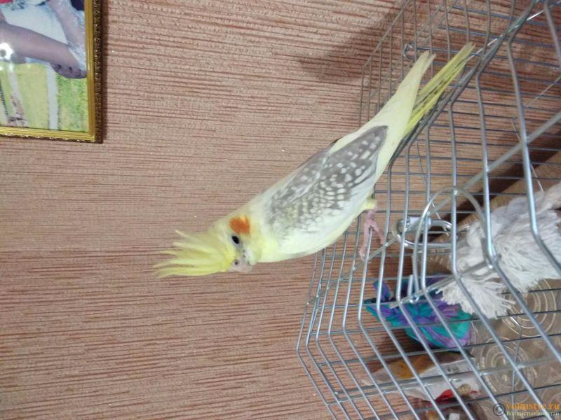 Определение пола и возраста попугаев корелла - 15707049142951134109687.jpg