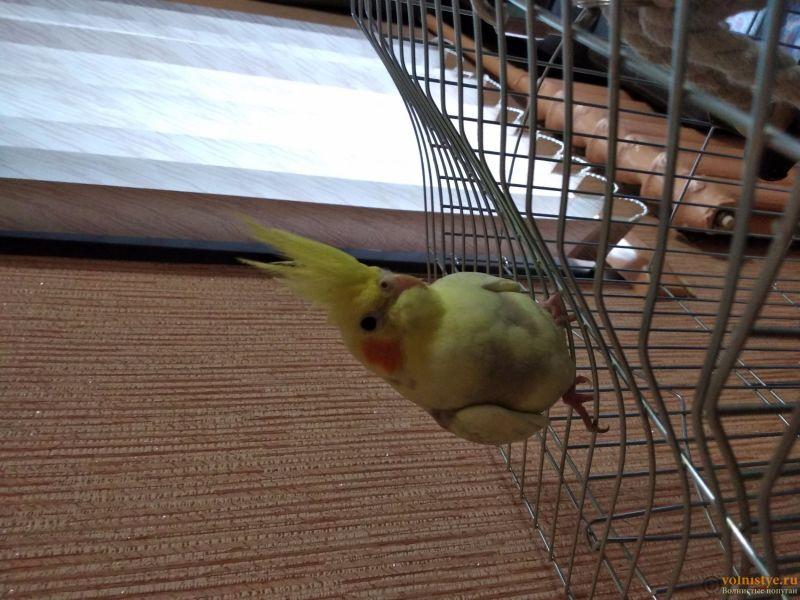 Определение пола и возраста попугаев корелла - 1570704963558231962350.jpg