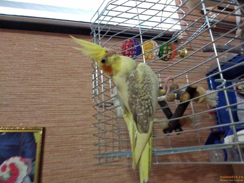 Определение пола и возраста попугаев корелла - 1570704987329674293440.jpg