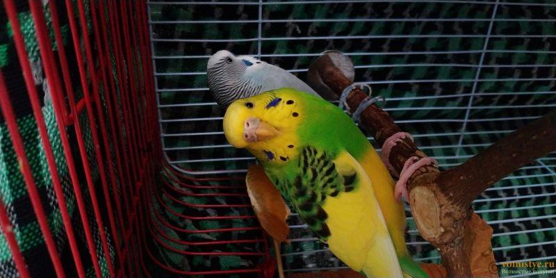 Фотографии  для статьи  окрасы волнистых попугаев - IMG_20190924_071848.jpg