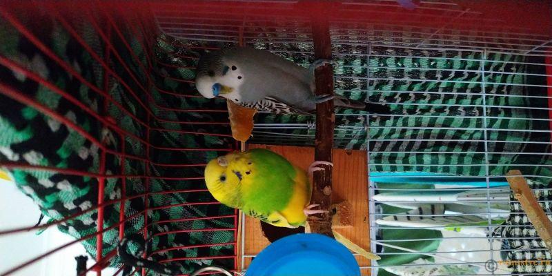 Фотографии  для статьи  окрасы волнистых попугаев - IMG_20190924_071723.jpg