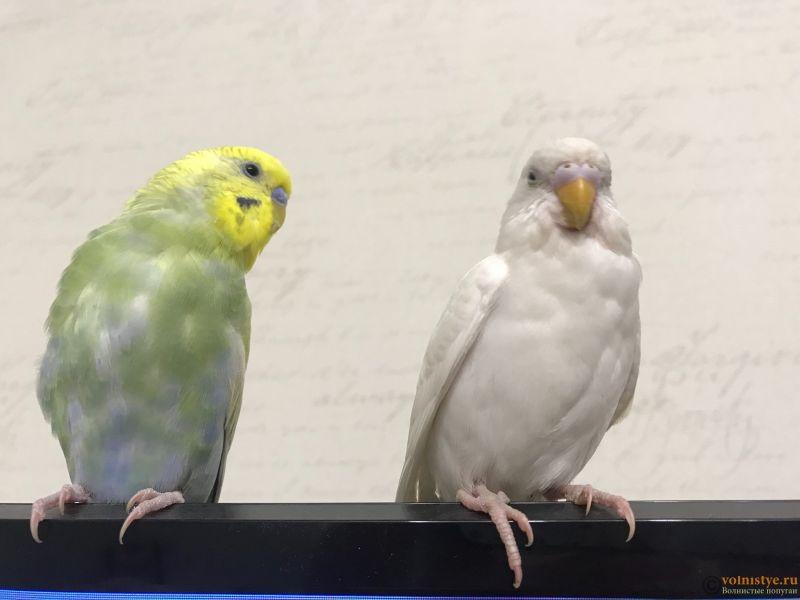 Фотографии  для статьи  окрасы волнистых попугаев - 6AC1282D-5E43-43A2-B6D0-B46DA79A0986.jpeg