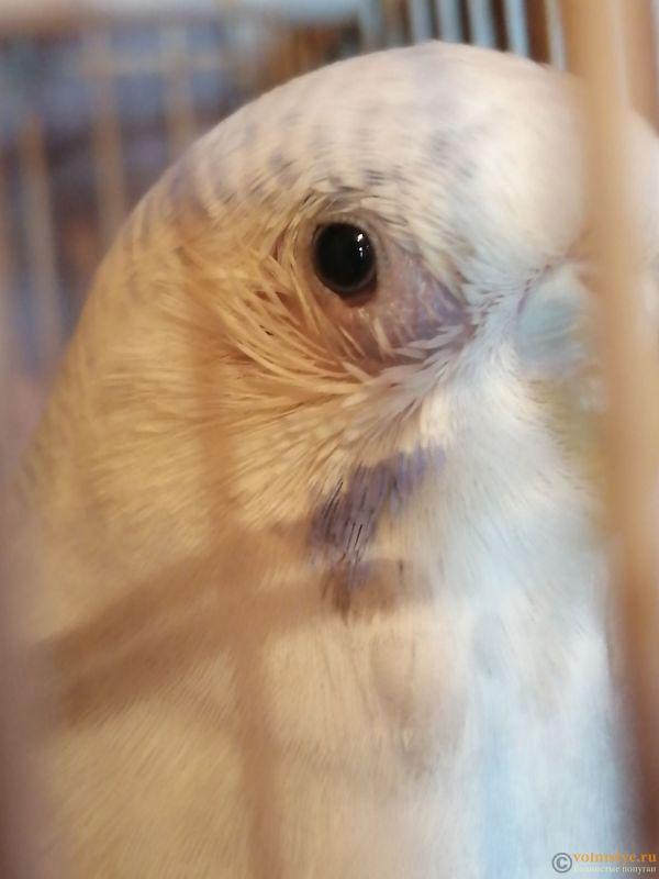 Опух глазик и выпали перья вокруг глаза у волнистого попугая. - IMG_20191017_083700.jpg
