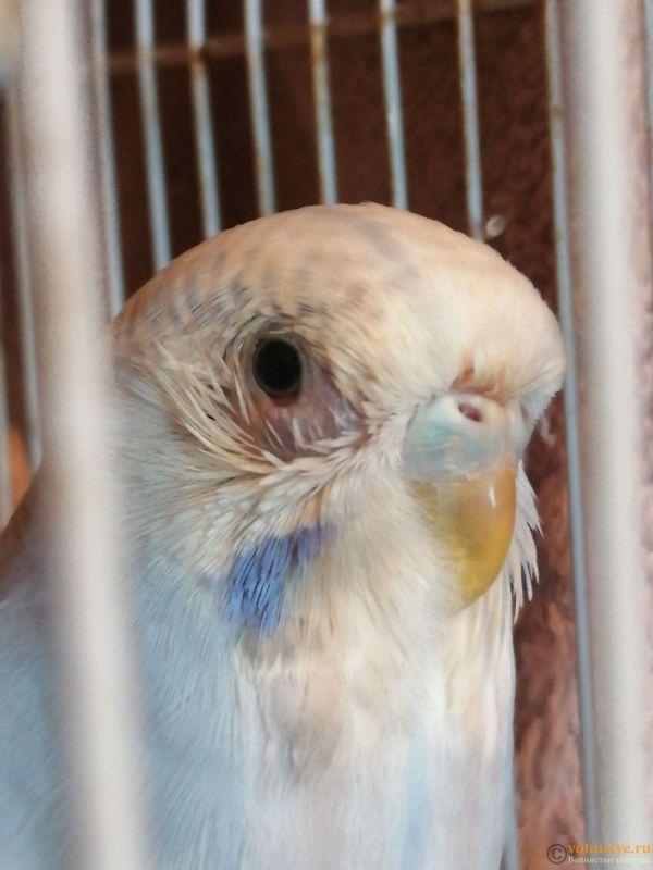 Опух глазик и выпали перья вокруг глаза у волнистого попугая. - IMG_20191017_083623.jpg