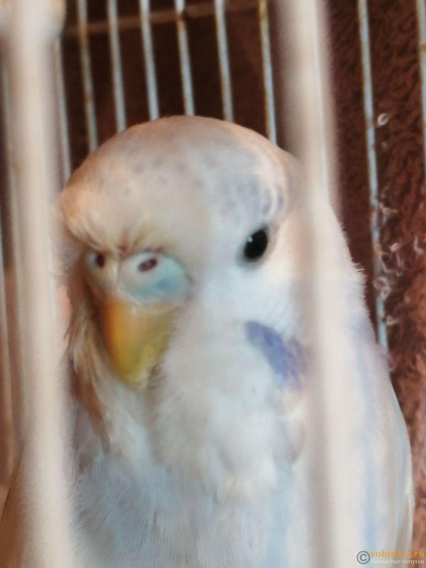 Опух глазик и выпали перья вокруг глаза у волнистого попугая. - IMG_20191017_083613.jpg