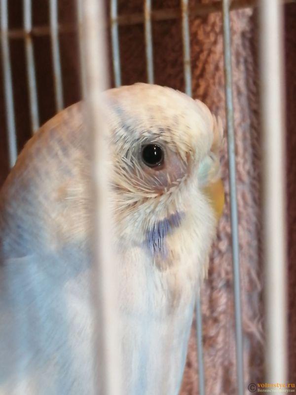 Опух глазик и выпали перья вокруг глаза у волнистого попугая. - IMG_20191017_083541.jpg