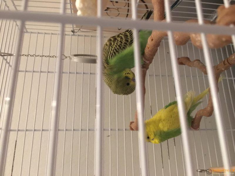 Новый попугай спит наклонив голову вниз - 2588A406-DE58-43F6-9CF0-78074BC66E84.jpeg