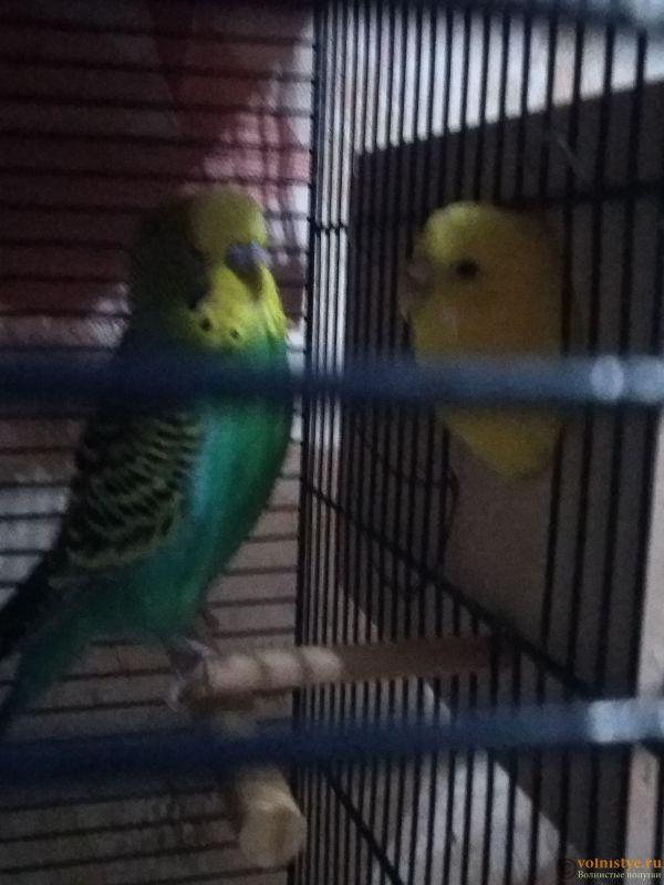 Какого окраса ваши попугаи и какого у них получились птенцы? - IMG_20190928_150553.jpg