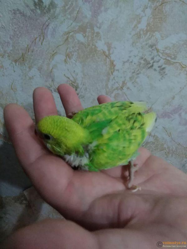 Какого окраса ваши попугаи и какого у них получились птенцы? - IMG_20191028_202638.jpg