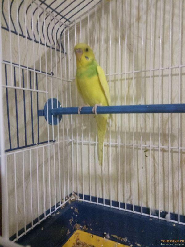 Фотографии  для статьи  окрасы волнистых попугаев - 1573488704143-201475652.jpg