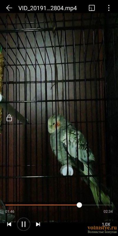 Отсутствуют перья на голове кореллы - photo_2019-11-18_10-29-01 (3).jpg