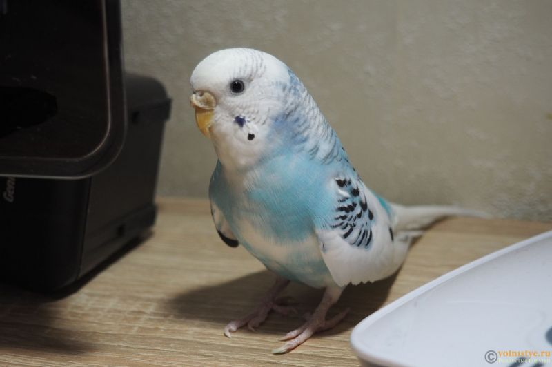 Фотографии  для статьи  окрасы волнистых попугаев - P1010009.JPG
