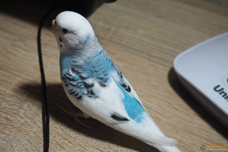 Фотографии  для статьи  окрасы волнистых попугаев - P1010014.JPG