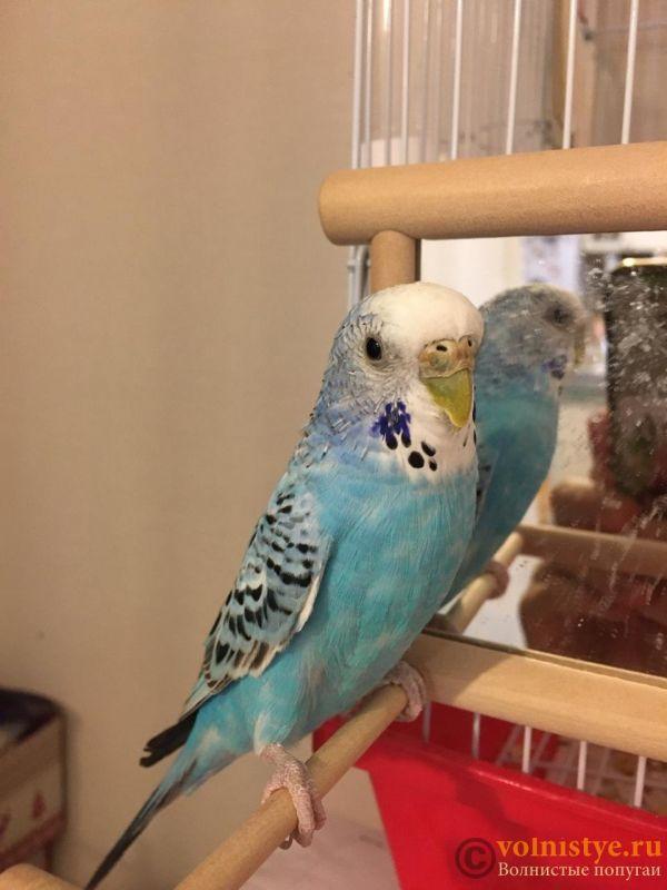 Помогите определить здоров ли попугай? - kesha_1.jpeg