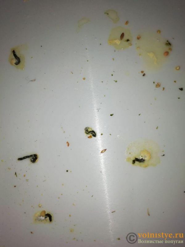 Отсутствуют перья на голове кореллы - photo_2019-11-19_18-07-46.jpg