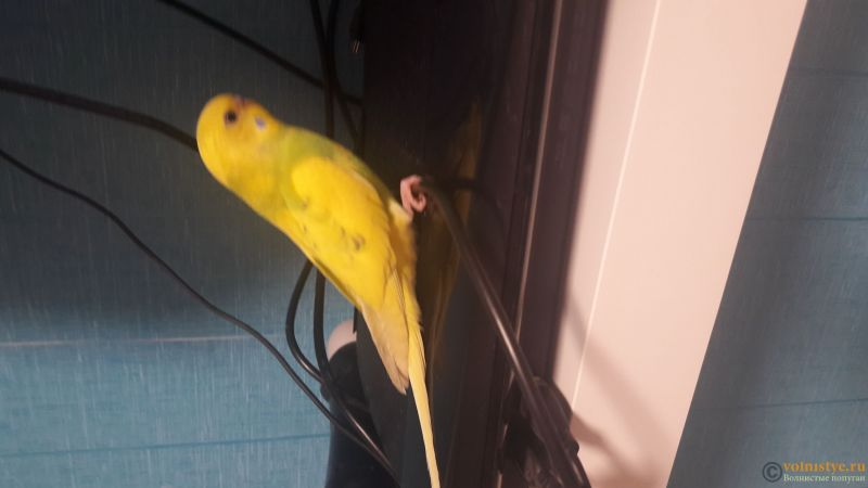 Фотографии  для статьи  окрасы волнистых попугаев - 15746099703311520488443.jpg