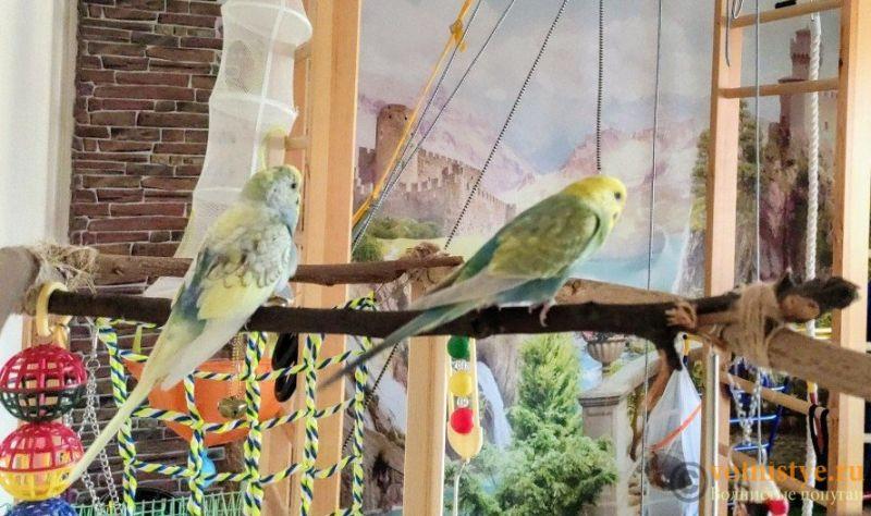 Фотографии  для статьи  окрасы волнистых попугаев - IMG_20191126_110157.jpg