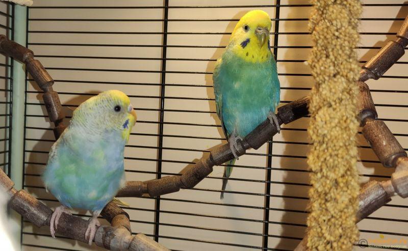 Фотографии  для статьи  окрасы волнистых попугаев - IMG_20191126_144207.jpg