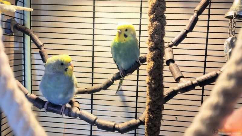 Фотографии  для статьи  окрасы волнистых попугаев - IMG_20191126_144242.jpg