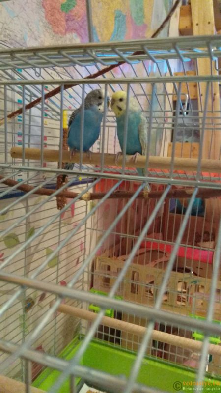 Какого окраса ваши попугаи и какого у них получились птенцы? - IMG_20191104_155221.jpg