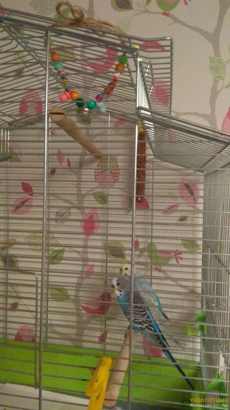 Какого окраса ваши попугаи и какого у них получились птенцы? - IMG_20191127_160335.jpg