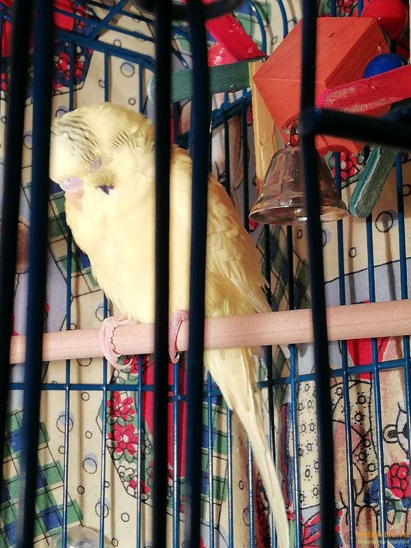 Вялый, нахохленный попугай. Всегда спит - IMG_20191130_193411.jpg