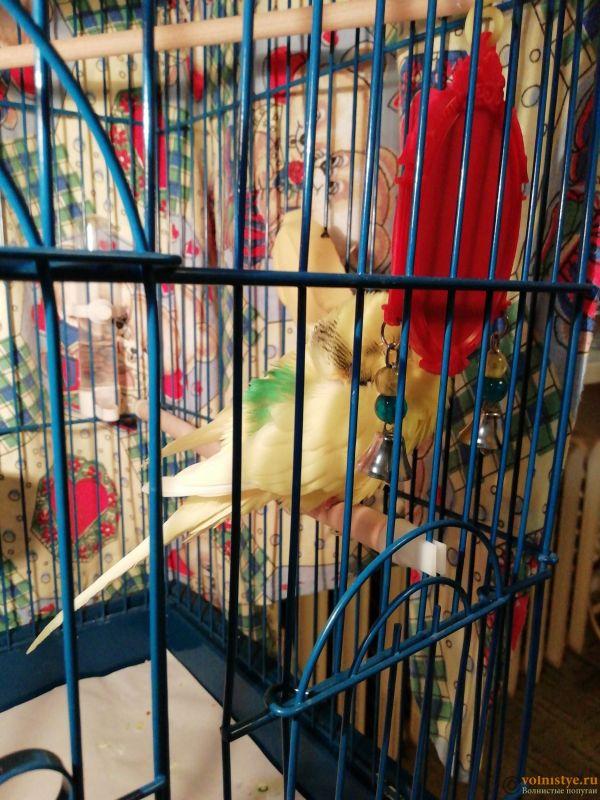 Вялый, нахохленный попугай. Всегда спит - 1575141397972143916173782094281.jpg