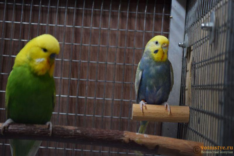 Птенцы от Михаэля и Юлии - Родители.JPG