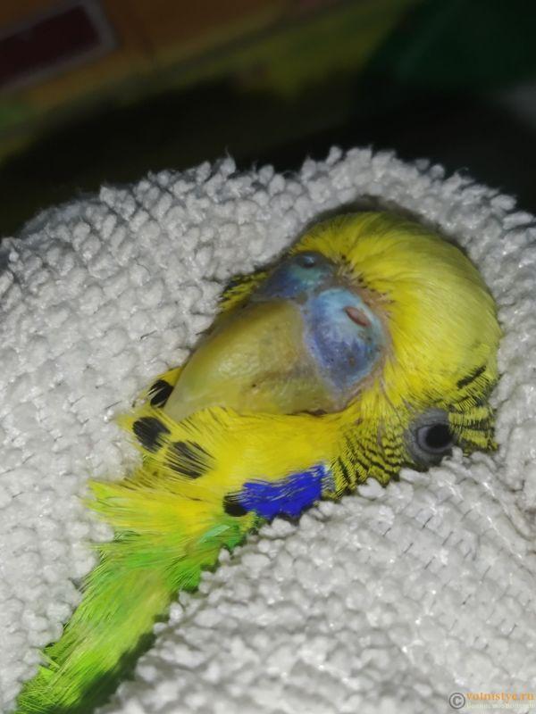 У попугая шелушится клюв и восковица - 15753197374092649276870403421541.jpg