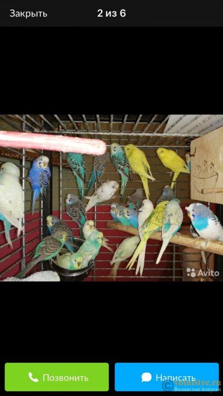 Содержание птиц у заводчика - 8CB8B6D8-E246-4A7B-8224-D10529BB8DE9.jpeg