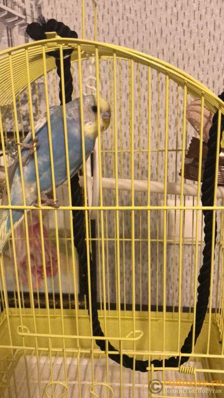 Волнистый попугайчик чешется - FC50BF78-1A59-4E49-9E0B-C736578E1E3F.jpeg