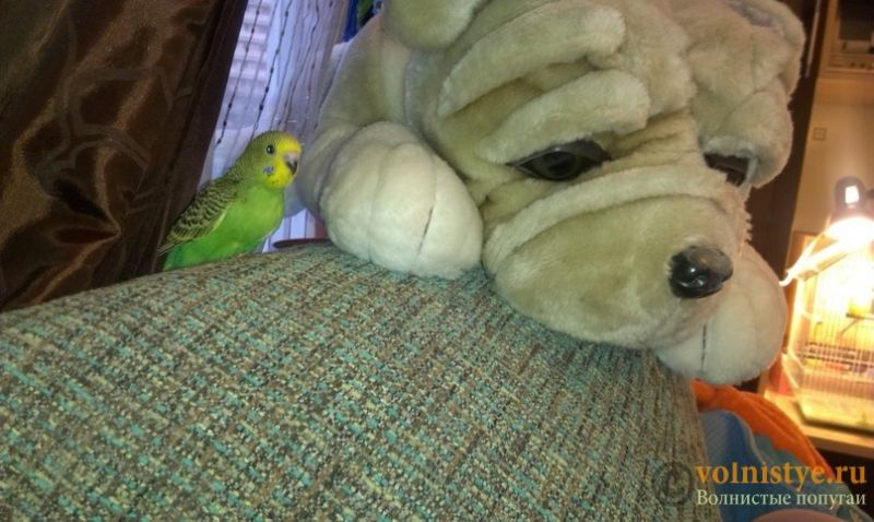 Волнистые попугаи -Самки птенцы Москва-Мытищи - VK_Saved_Photo_ 636090365146385501.jpg