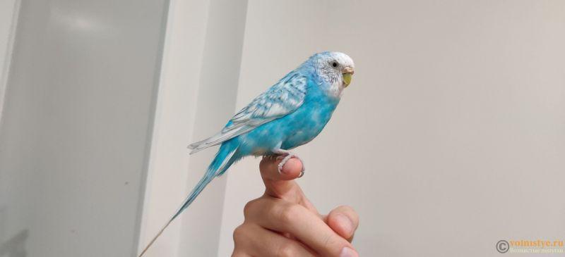Отдам в дар волнистого попугая Уфа - IMG_20200121_182633.jpg