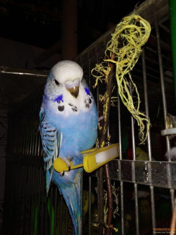 Волнистые попугаи Чехи-Птенцы Самки     Мытищи - IMG_20200207_155959.jpg