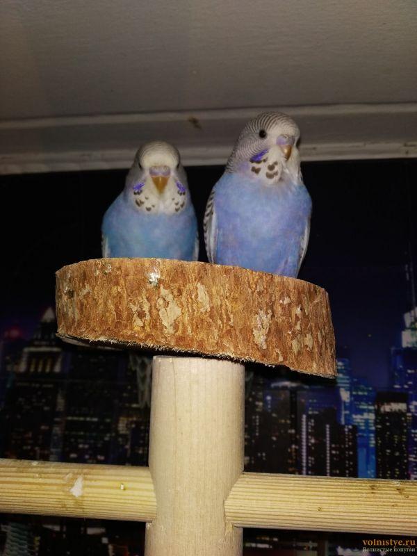 Волнистые попугаи Чехи-Птенцы Самки     Мытищи - IMG_20200208_104747.jpg