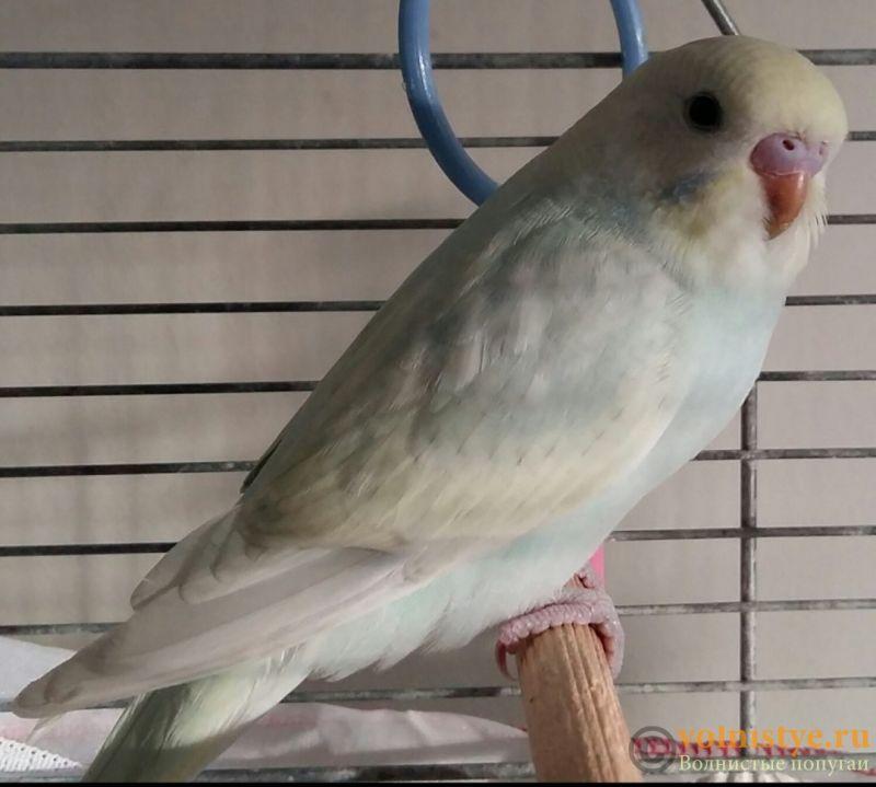 Фотографии  для статьи  окрасы волнистых попугаев - 20200222_003237.jpg