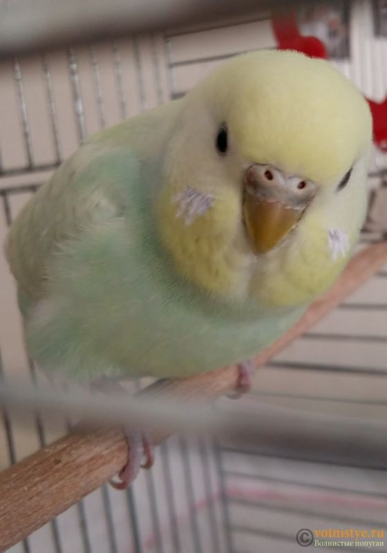 Фотографии  для статьи  окрасы волнистых попугаев - 20200222_003200.jpg