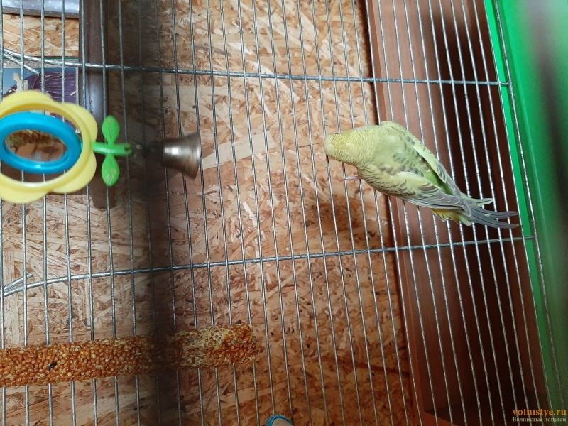 Фотографии  для статьи  окрасы волнистых попугаев - 20200223_134403.jpg