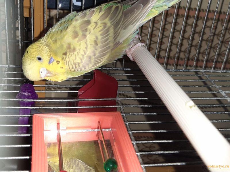 Фотографии  для статьи  окрасы волнистых попугаев - 20200226_102318.jpg