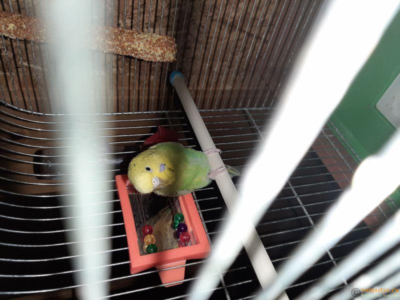 Фотографии  для статьи  окрасы волнистых попугаев - 20200223_214840.jpg