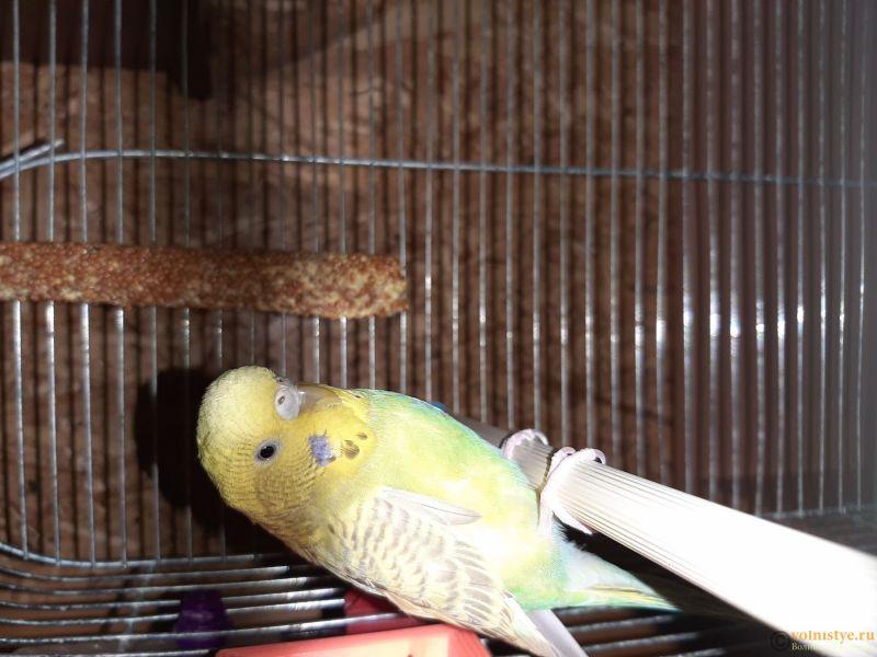 Фотографии  для статьи  окрасы волнистых попугаев - 20200223_214525.jpg
