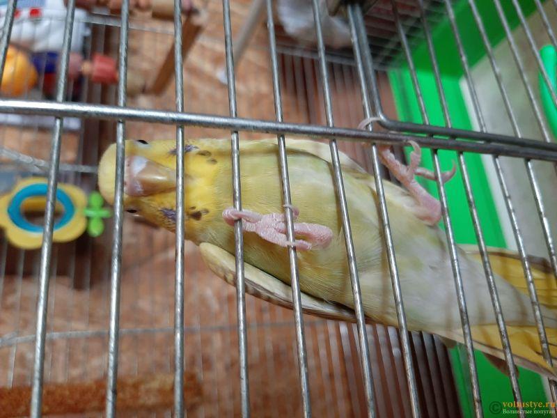 Фотографии  для статьи  окрасы волнистых попугаев - 20200223_134431.jpg
