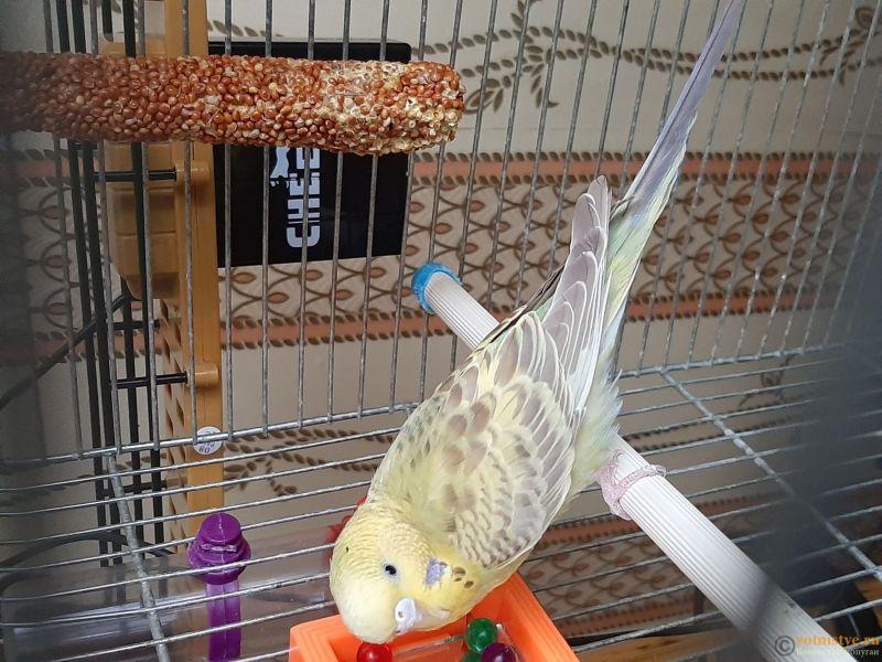 Фотографии  для статьи  окрасы волнистых попугаев - 20200226_161849.jpg