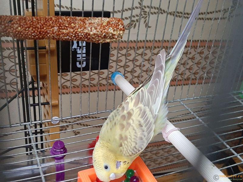 Фотографии  для статьи  окрасы волнистых попугаев - 20200226_161848.jpg